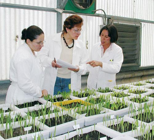 Inspectores externos visitan el Laboratorio de Sanidad de Senilla del CIMMYT; aquí con Noemí Valencia Torres (derecha), supervisora del laboratorio, inspeccionan plántulas. Foto: CIMMYT