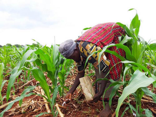 A farmer applying a solution only very few can afford in adequate amounts: nitrogen fertilisers for poor soils in Africa