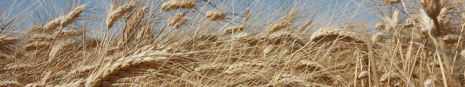 cgiar research program on wheat cimmyt international maize and