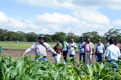 Conference participants view experimental maize hybrids at the MLN screening facility with explanations from CIMMYT staff. Photo: CIMMYT
