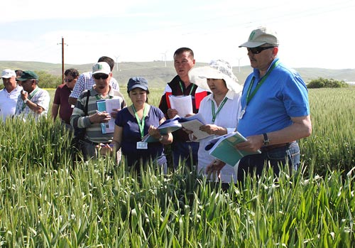Alexei Morgounov, CIMMYT Wheat Breeder, discusses germplasm performance with scientists from Kazakhstan, Kyrgyzstan and Uzbekistan. Photos: H.Mammadova, Azeri Research Institute of Farming.