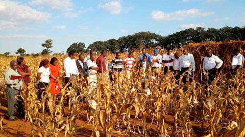 Tour of maize seed production fields at Chitedze Research Station. Photo: Kennedy Lweya/CIMMYT