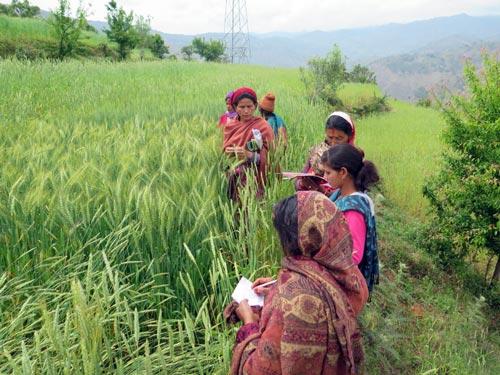 Farmers observe wheat variety