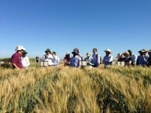 Scientists and members of the international wheat community, observe wheat trials in Obregon, Mexico, March 2015. CIMMYT/Julie Mollins