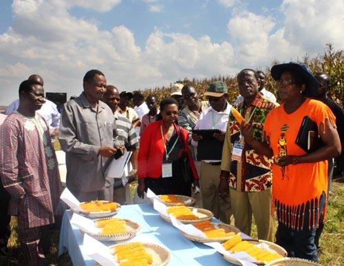CIMMYT-SARO maize breeder Thokozile Ndhlela (holding orange maize cob) explains to visiting delegates the importance of orange maize to nutrition. Photo: Johnson Siamachira/CIMMYT