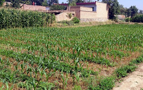 Winter wheat and peanut intercropping followed by relay-cropping maize into immature winter wheat. Photo: Jack McHugh/CIMMYT