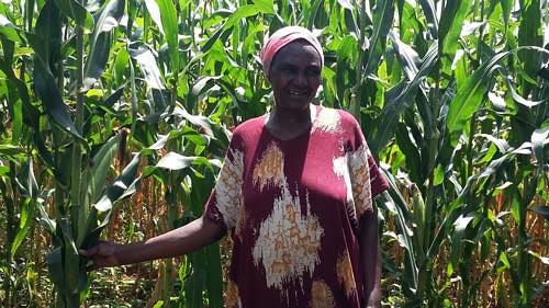Azbetta Ogembo, a farmer in western Kenya, displays a WH507 maize plant. Photo: Brenda Wawa/CIMMYT