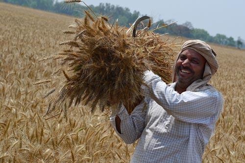 Farmer-with-wheat-harvest