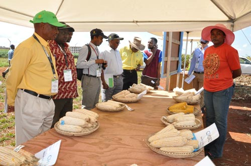 showcasing various maize varieties. CIMMYT-SARO maize breeder Thokozile Ndhlela at this year's CIMMYT field day. Partners, including the Government of Zimbabwe, witnessed CIMMYT's work in its efforts to reduce hunger and malnutrition in southern Africa. Photo: Johnson Siamachira/CIMMYT.
