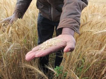 wheat sydney