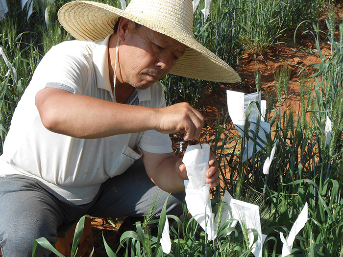 CIMMYT contributions are present in more than 26% of all major wheat varieties in China after 2000, according to a 2014 study by Center for Chinese Agricultural Policy (CCAP) of the Chinese Academy of Science. Read more here in CIMMYT's 2014 Annual Report. Photo: CIMMYT Archives.