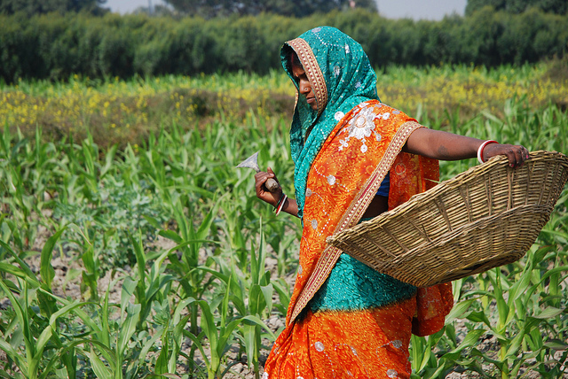 A farmer at work weeding in a maize field close to the Pusa site of the Borlaug Institute for South Asia (BISA), in the Indian state of Bihar. CIMMYT/M. DeFreese