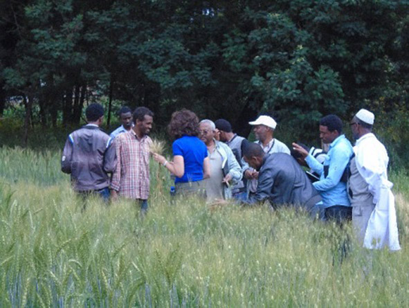 Trainees observe fungal, bacterial, and viral diseases of wheat in quarantine fields. Photo: Terefe Fitta
