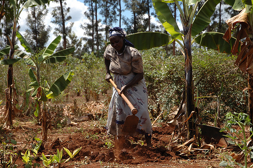 A smallholder farmer in Embu, Kenya prepares a maize plot for planting. CIMMYT/file