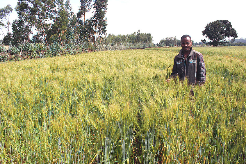 A farmer in his wheat field in Assela, Ethiopia, established through direct seeding with a two-wheel tractor. Photo: Frédéric Baudron
