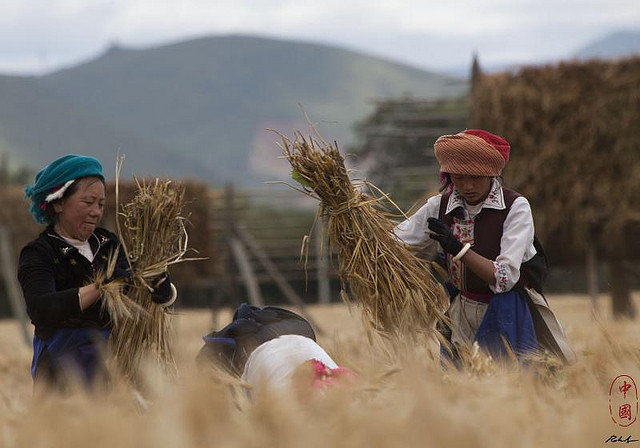 Wheat harvest in Songzanlinsi, Yunnan, China. Photo: R. Saltori