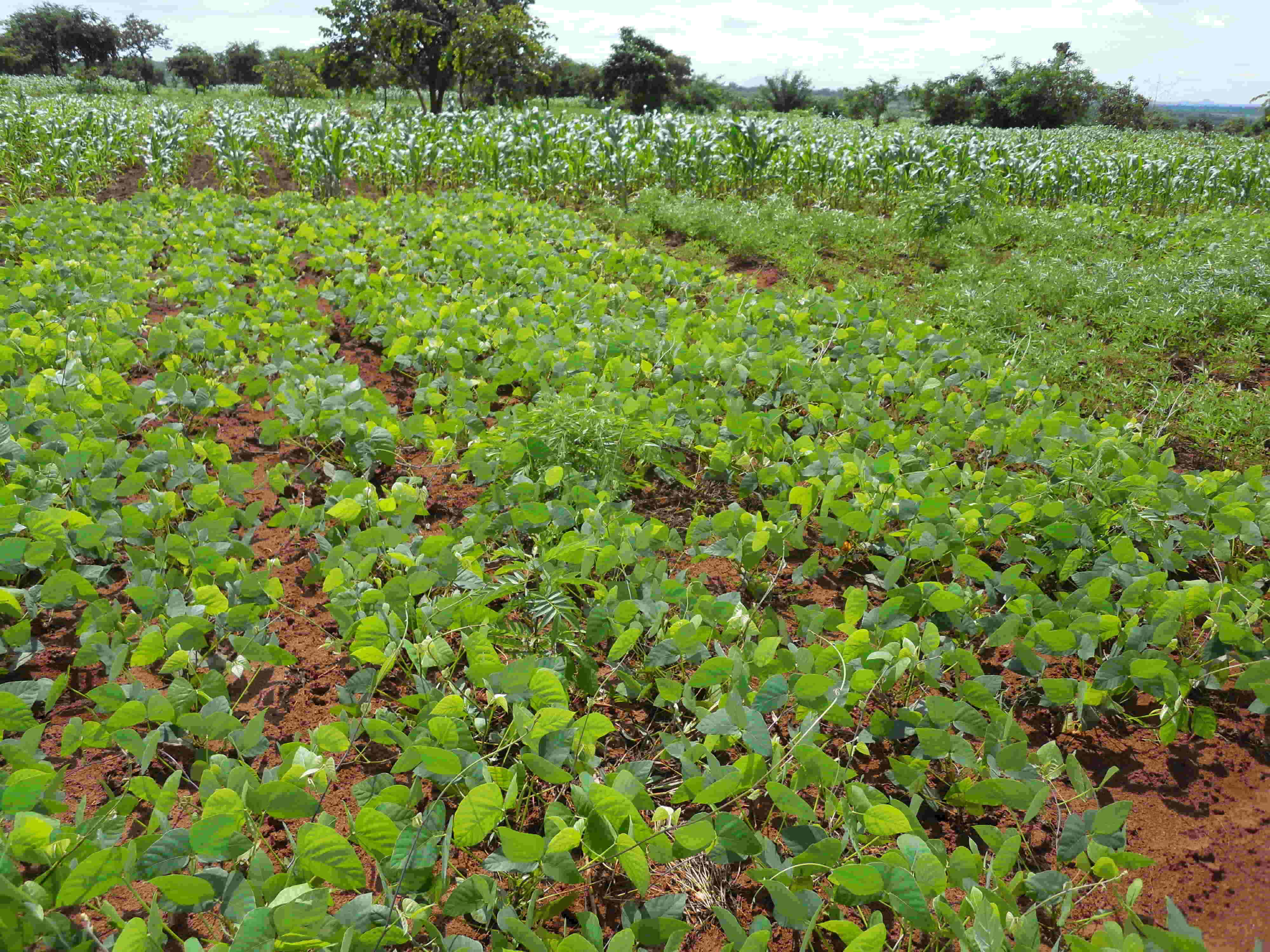 Velvet bean planted in rotation with maize increases soil fertility, provides biomass for feed and suppresses weeds in Chipata, Zambia. Photo: Christian Thierfelder/CIMMYT.