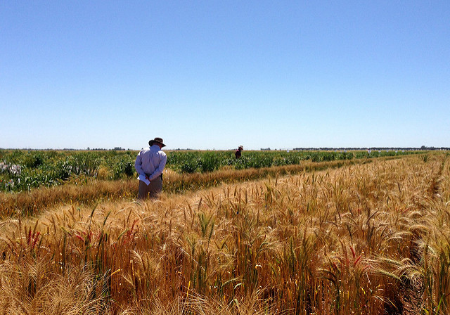 International scientists attending a meeting in Ciudad Obregon, Mexico, plotted out how current and potential research projects around the world could boost wheat yields to meet population and climate pressures. CIMMYT/Julie Mollins