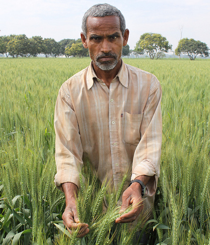 Farmer Ram Shubagh Chaudhary in his wheat fields, in the village of Pokhar Binda, Maharajganj district, Uttar Pradesh, India. He alternates wheat and rice, and has achieved a bumper wheat crop by retaining crop residues and employing zero tillage. He is one of the farmers working in partnership with the Cereal Systems Initiative for South Asia (CSISA). CIMMYT is one of the many partners involved in CSISA, a collaborative project designed to decrease hunger and increase food and income security for resource-poor farm families in South Asia through development and deployment of new varieties, sustainable management technologies, and policies, led by the International Rice Research Institute (IRRI) and funded by the Bill & Melinda Gates Foundation and the USAID. Chaudhary carries out many different experiments, including comparisons of varieties, sowing dates, herbicides, and other variables, and gives demonstrations of his fields to other farmers. Photo credit: CIMMYT.