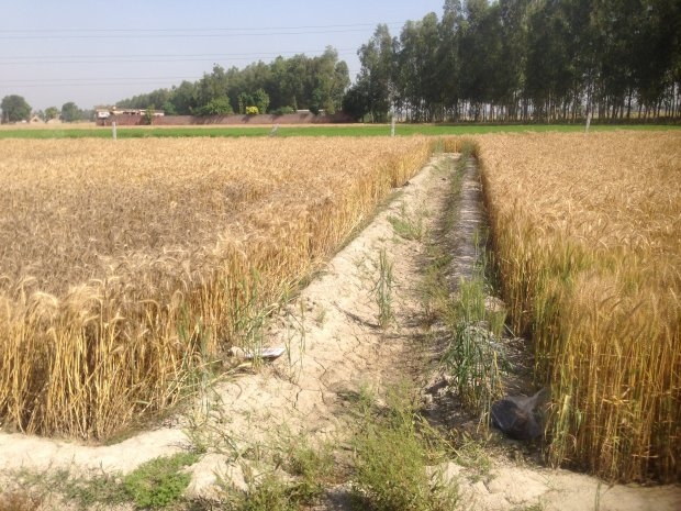Conservation agriculture (field at right) protects wheat from damage due to water stagnation experienced in a conventional field, visible in the blackening of the wheat (left field). Photo: CIMMYT/ Sapkota