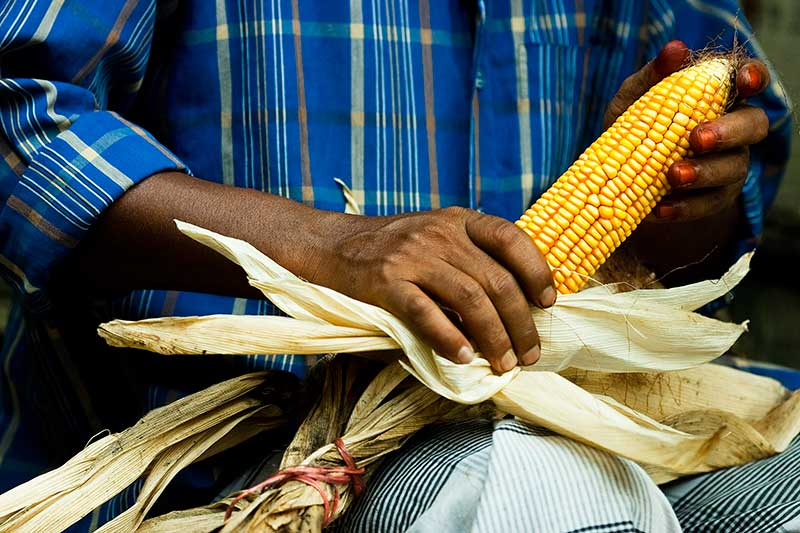 anthesis silking interval corn In silk emergence the anthesis to silking interval (asi) is highly correlated to grain yields under drought stress as shown by experiments conducted at cimmyt, mexico this study aimed at combining both earliness and short asi in one maize genotype early-maturing, open pollinated varieties (opvs) from kenya.