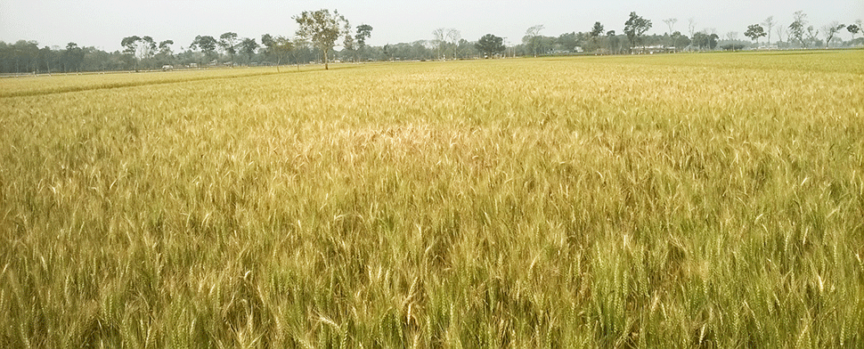 Wheat-blast--infected-field---Bangladesh