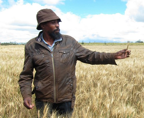 Simon N'gang'a, a wheat farmer in Kenya's Njoro region, about 200 kilometers (124 miles) northwest of the country's capital Nairobi. N'gang'a's crop was lost to a sister strain of Ug99 stem rust disease in 2014. CIMMYT/Julie Mollins