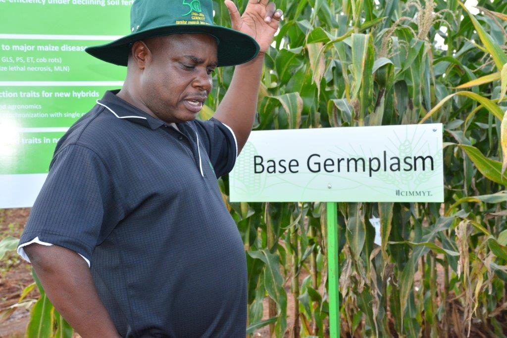 CIMMYT-Southern Africa maize breeder Cosmos Magorokosho, showcasing CIMMYT's work as part of CIMMYT50 commemorations. Photo: Johnson Siamachira/CIMMYT.