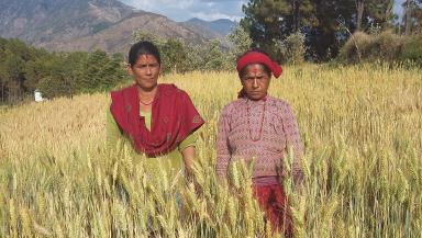 Women farmers selected wheat variety Danfe at the PVS trial in Gadhi VDC, Surkhet District. Photo: Narayan Khanal