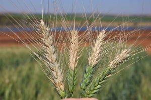 Blast-wheat-Duveiller