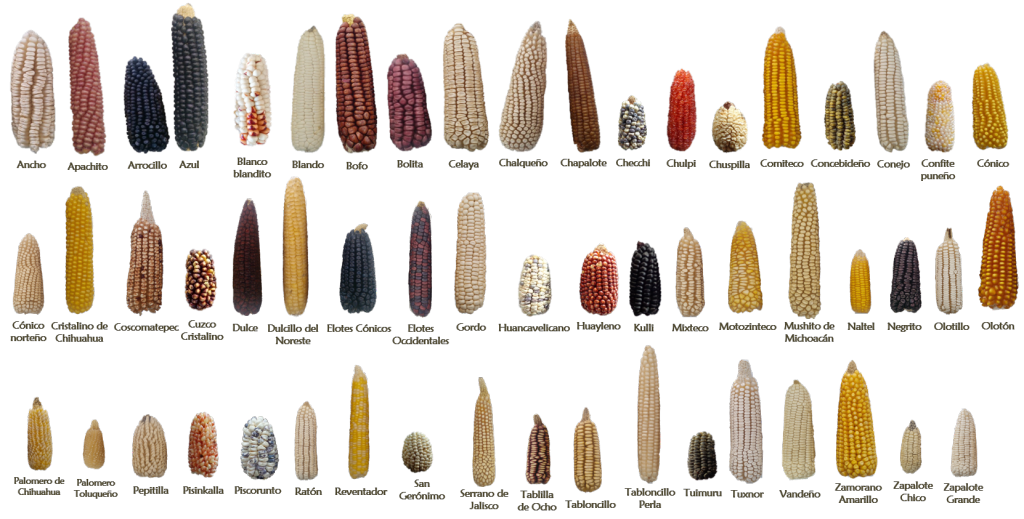 Examples of some of the 59 native Mexican maize landraces. Photo courtesy of CIMMYT Maize Germplasm Bank