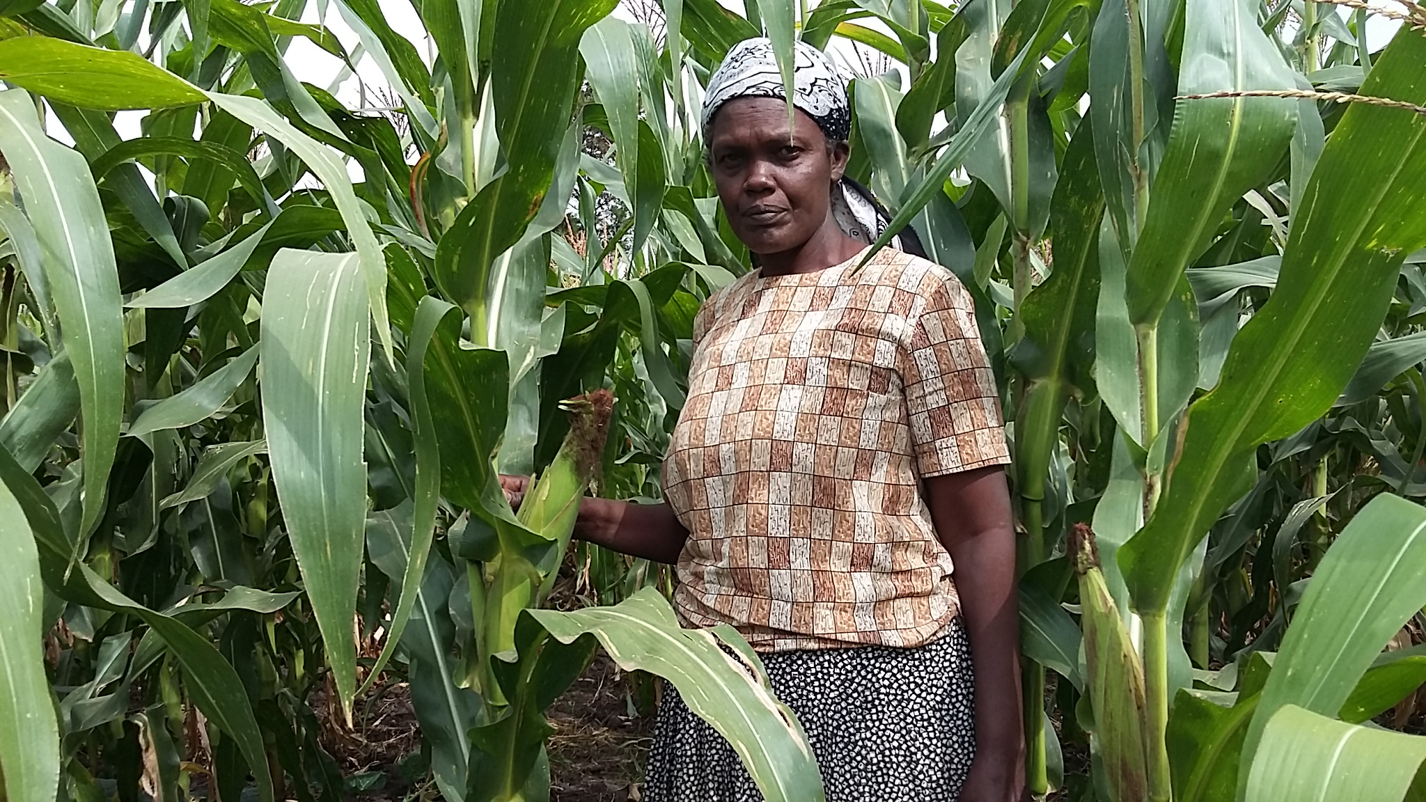 Kenyan farmers to realize full yield potential and harvest better quality maize from Bt maize.  Photograher: CIMMYT/B.Wawa