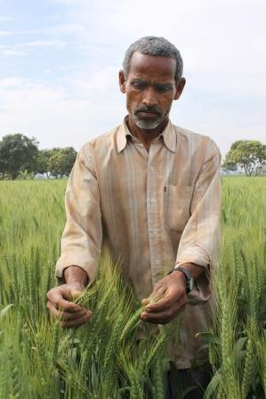 Farmer Ram Shubagh Chaudhary in his wheat fields, in the village of Pokhar Binda, Maharajganj district, Uttar Pradesh, India. He alternates wheat and rice, and has achieved a bumper wheat crop by retaining crop residues and employing zero tillage. Photo: Petr Kosina / CIMMYT