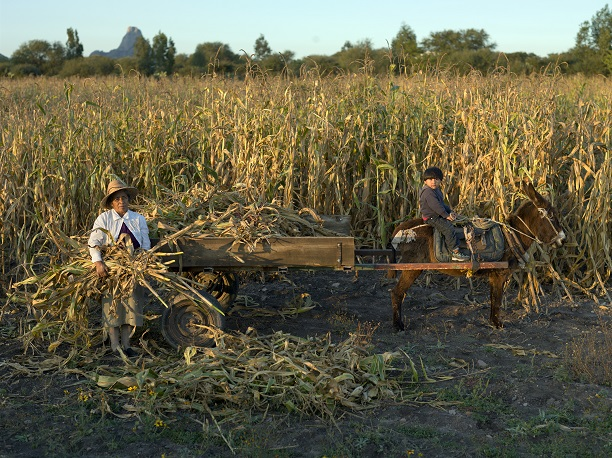Scientists agree maize originated in Mexico thousands of years ago. CIMMYT/ Peter Lowe