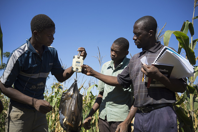 Investment in speeding up the adaptation maize breeding and seed systems to climate change is needed, report finds. Photo: Peter Lowe/ CIMMYT