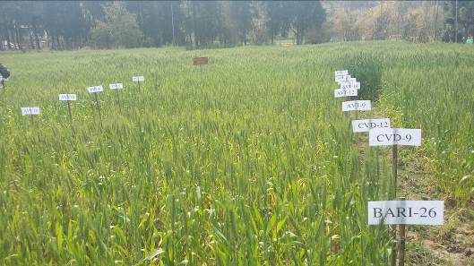 Advanced wheat lines from Bangladesh are evaluated for rust resistance in Bhutan. Photo: Sangay Tshewang/RNRRD
