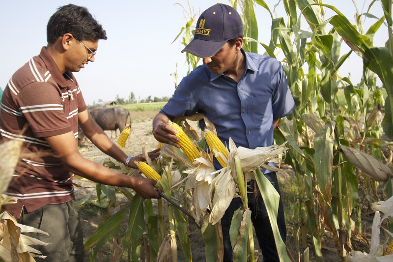 CIMMYT is collaborating with national partners in Nepal to support the expansion of registered hybrid maize and to help increase the crop's productivity throughout the country. Photo: Ashok Rai/CIMMYT