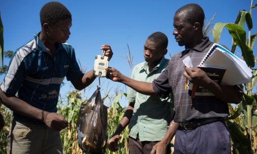 Grain yield from a conservation agriculture demonstration plot in Zomba District, Malawi, is measured precisely as part of CIMMYT's research on the combined benefits of drought tolerant maize and CA. Photo: Peter Lowe/CIMMYT