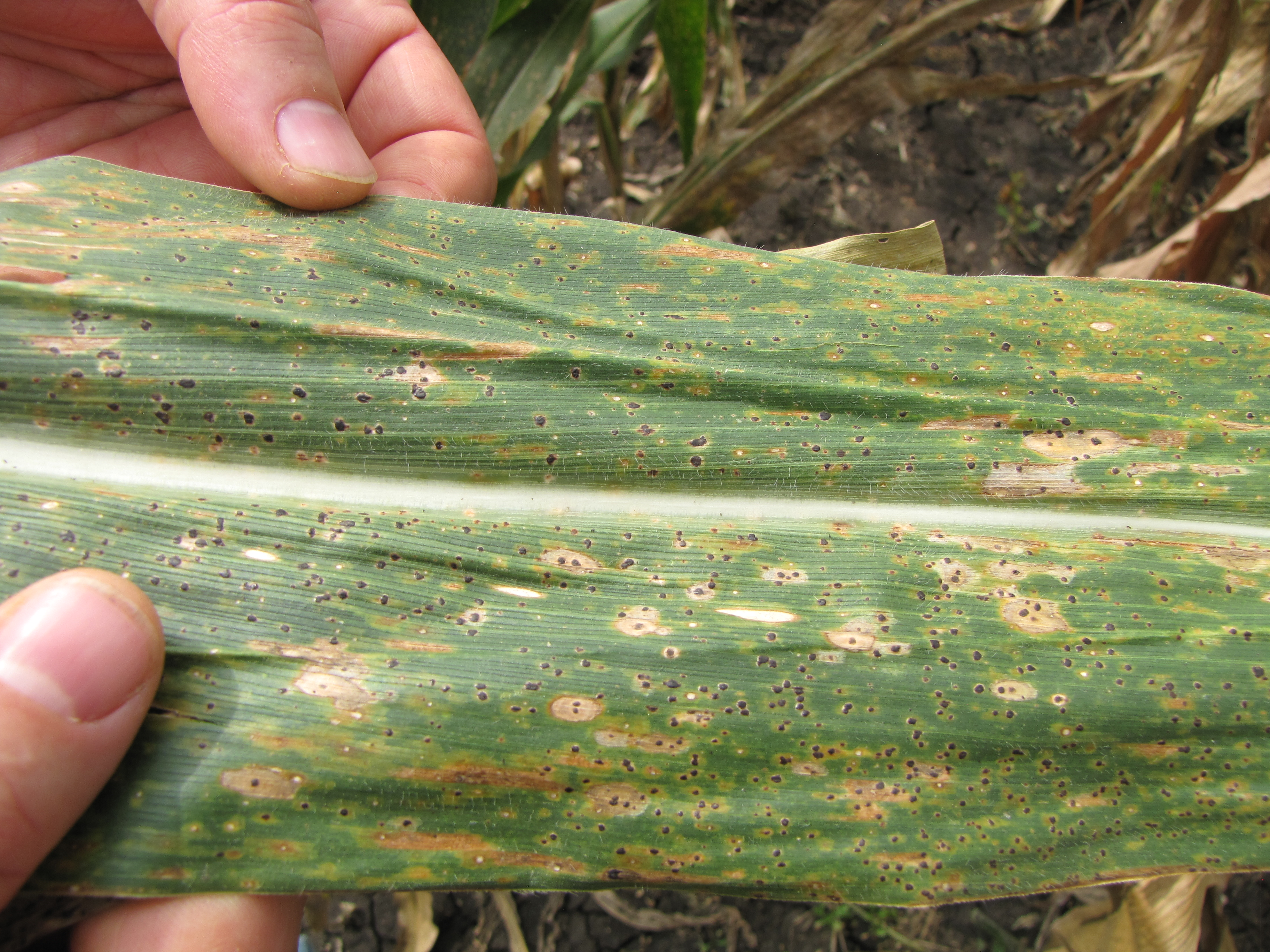"""The first stage of fungal maize disease TSC, with tiny, black """"tar spots"""" covering the leaf. The spots will soon turn into lesions that kill the leaf, preventing photosynthesis from occurring."""