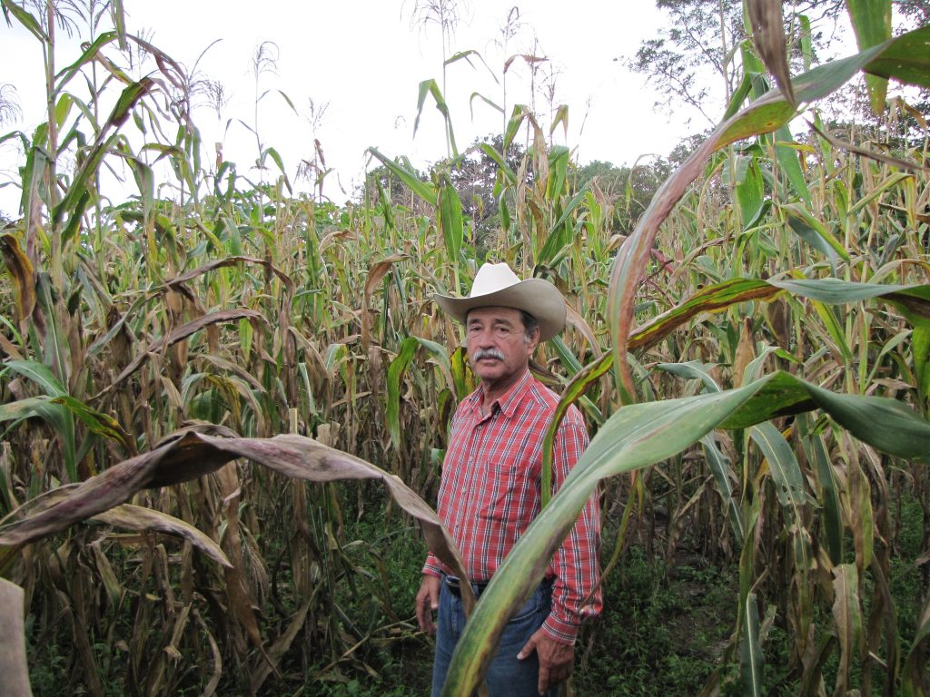 Corzo Jimenez in his maize field infected with TSC. Varieties made from SeeD bridging germplasm would allow him to protect his crop without applying expensive fungicides.