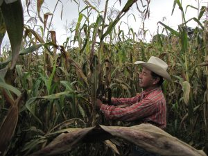 Felix Corzo Jimenez , a farmer in Chiapas, Mexico, examines one of his maize plants infected with tar spot complex.