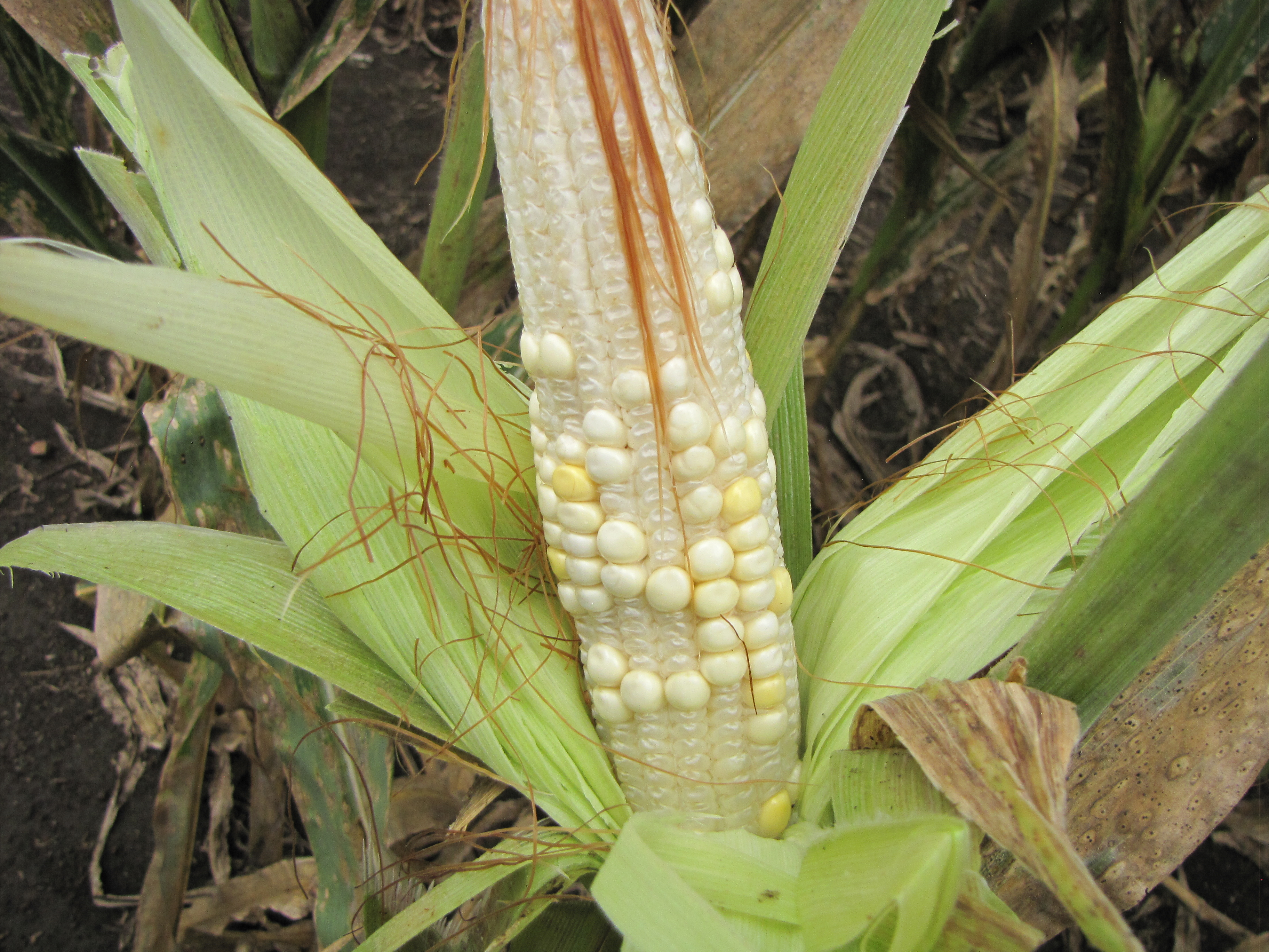 A maize ear with shriveled kernels that are poorly filled, a major side effect of TSC that reduces farmer's tields.