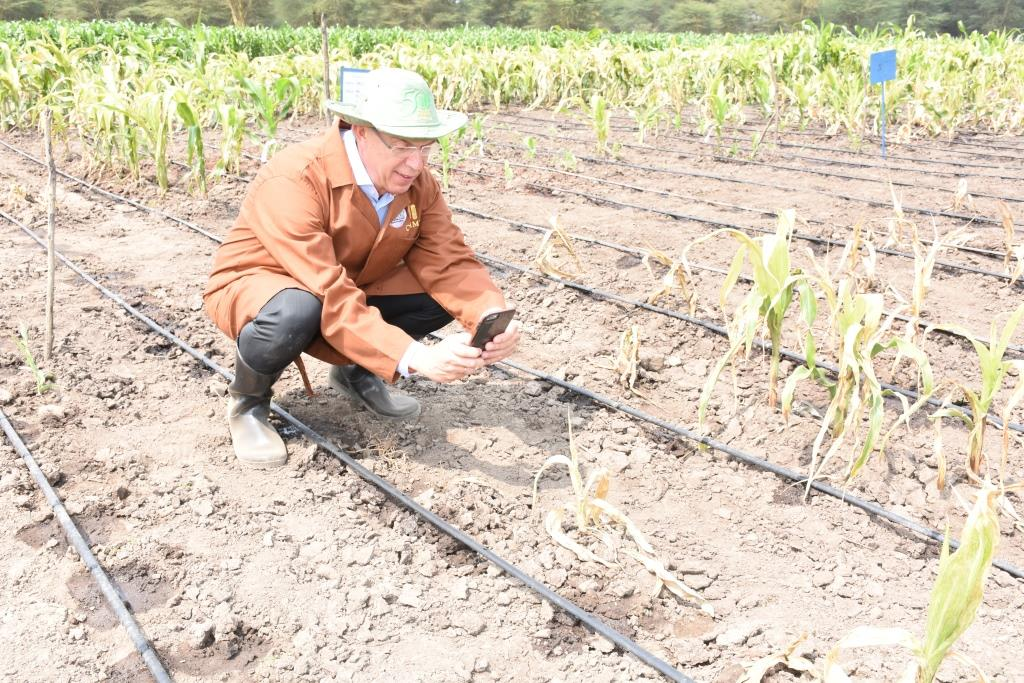 CIMMYT DG Martin Kropff studying an MLN affected plant. Photo: K. Kaimenyi/CIMMYT