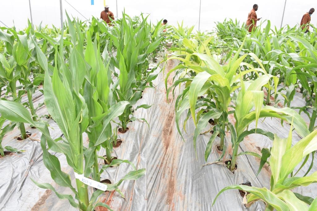 Did you know? •Over 60,000 entries have been tested at the MLN screening site in Naivasha, Kenya since 2013. • 16 private and public institutions including seed companies and national research organizations have screened their germplasm for MLN.