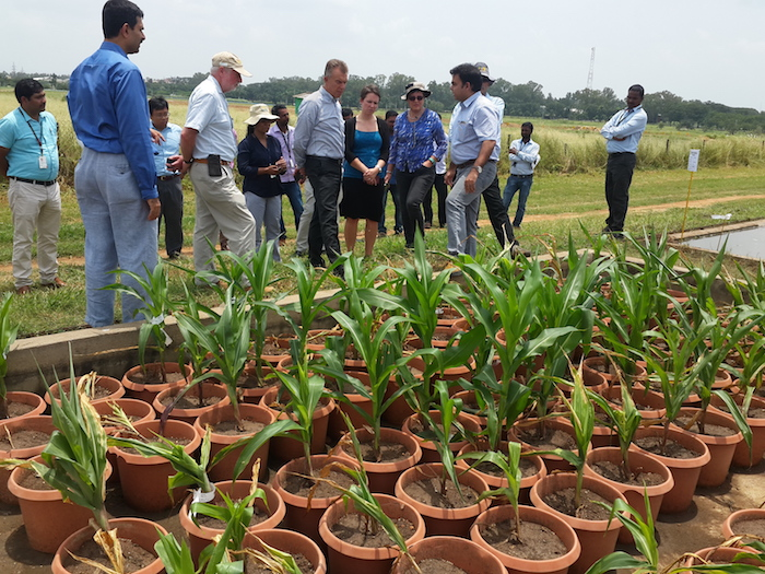 Observing water logging in maize. Photo: CIMMYT