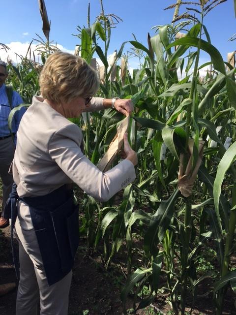 Bill & Melinda Foundation CEO Sue Desmond-Hellmann pollinates maize. Photo: Alfonso Cortes/ CIMMYT