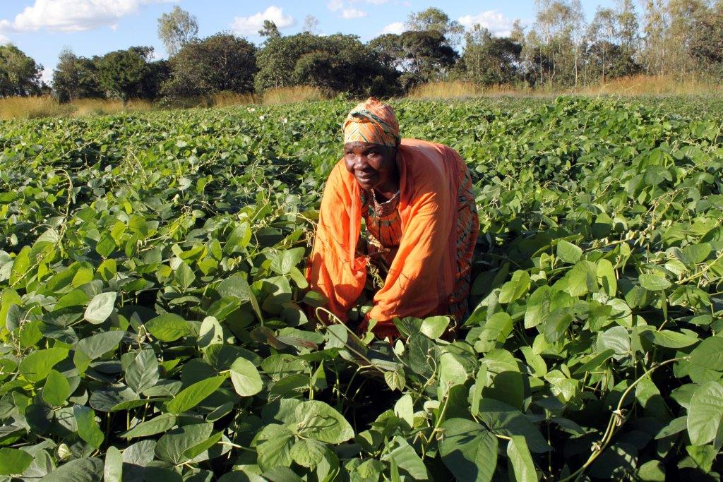 Joyce Chigama, working in her mucuna field, feeds her six livestock on legume diets. Her animals gained an average of nearly one kilogram (kg) per day for 60 days, allowing her to later sell five of these livestock for USD 3,000. Photo: Johnson Siamachira/CIMMYT.