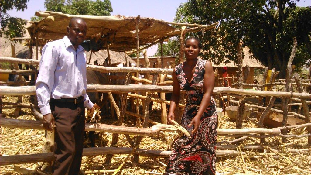 Ben Makono (left) has fed his cattle a legume-based diet and seen their selling price rise by an average of USD 200 per cow. Photo: Johnson Siamachira/CIMMYT.
