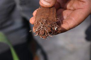 Striga at root, and germinating. Photo: K. Kaimenyi/CIMMYT