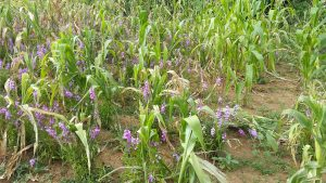 Striga flowered. Photo: CIMMYT/ James Njeru